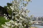 花水木の若木:檜尾アドプトリバー;クリックすると大きな写真になります