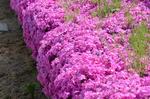 芝桜:檜尾アドプトリバー;クリックすると大きな写真になります