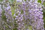 藤の花:桃山台;クリックすると大きな写真になります