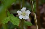 クサイチゴの花:鉢ヶ峯;クリックすると大きな写真になります