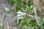 ヤナギの花:自然ふれあいの森;クリックすると大きな写真になります