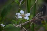 野いちごの花:自然ふれあいの森;クリックすると大きな写真になります