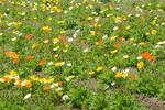 ポピー:和泉リサイクル環境公園;クリックすると大きな写真になります