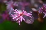 アカバナトキワマンサク:花の文化園;クリックすると大きな写真になります