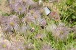 オキナグサ:花の文化園;クリックすると大きな写真になります
