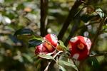紅白の椿:花の文化園;クリックすると大きな写真になります