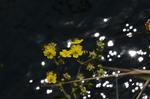 ウマノアシガタ:野々井;クリックすると大きな写真になります