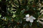 タイサンボクの花;クリックすると大きな写真になります