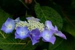 ヤマアジサイ七段花;クリックすると大きな写真になります
