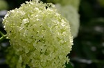 アジサイ アナベル:京都府立植物園;クリックすると大きな写真になります