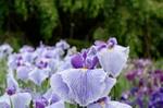 ハナショウブ:京都府立植物園;クリックすると大きな写真になります