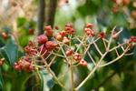 ニワトコの実:堺ふるさと自然の森;クリックすると大きな写真になります。