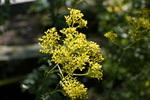 オミナエシ:花の文化園;クリックすると大きな写真になります。