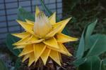 チュウキンレン:花の文化園温室;クリックすると大きな写真になります。