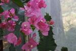 ブーゲンビリア:花の文化園温室;クリックすると大きな写真になります。