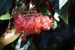 キダチベゴニア:花の文化園温室;クリックすると大きな写真になります。
