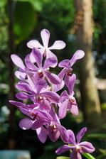 洋ラン モカラ交配種:花の文化園温室;クリックすると大きな写真になります。