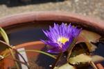 睡蓮:花の文化園;クリックすると大きな写真になります。