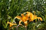 カンゾウ:花の文化園;クリックすると大きな写真になります。