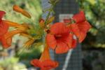 ノウゼンカズラ:花の文化園;クリックすると大きな写真になります。