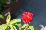トサカケイトウ:花の文化園;クリックすると大きな写真になります。