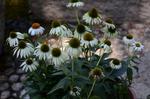 エキナセア:花の文化園;クリックすると大きな写真になります。