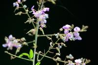 萩の花:松尾寺;クリックすると大きな写真になります。