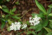 >ニラの花:松尾寺;クリックすると大きな写真になります。