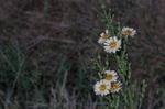 アキノゲシ:野々井;クリックすると大きな写真になります。