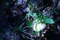 シロオニタケ:堺自然ふるさとの森;クリックすると大きな写真になります。