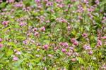 ミゾソバ:鉢伏高原;クリックすると大きな写真になります。
