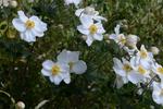 シュウメイギク:鉢伏高原;クリックすると大きな写真になります。