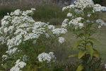 ゴマナ:鉢伏高原;クリックすると大きな写真になります。