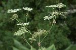ウドの花:鉢伏高原;クリックすると大きな写真になります。