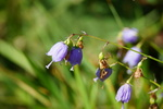 ツリガネニンジン:鉢伏高原;クリックすると大きな写真になります。