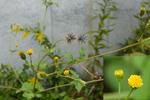 コセンダイグサ:野々井;クリックすると大きな写真になります。