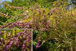 ムラサキシキブ:松尾寺公園;クリックすると大きな写真になります。