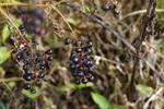 ヨウシュゴボウの黒い実:松尾寺;クリックすると大きな写真になります。