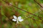 ハクチョウソウ:但馬高原植物園;クリックすると大きな写真になります。