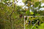 タンナサワフタギの実:但馬高原植物園;クリックすると大きな写真になります。