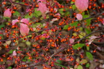 コマユミの実:但馬高原植物園;クリックすると大きな写真になります。