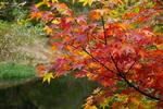 やわらが池のそばの楓;クリックすると大きな写真になります。