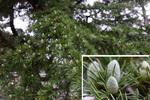 ヒマラヤスギの実:浜寺公園;クリックすると大きな写真になります。