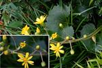 ツワブキ:浜寺ばら庭園;クリックすると大きな写真になります。