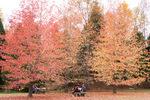 シアトルの森のモミジバフウ;クリックすると大きな写真になります。