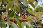 コブシの果実:松尾寺;クリックすると大きな写真になります。