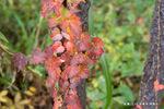 ツタの紅葉:松尾寺;クリックすると大きな写真になります。