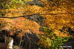 カエデ:松尾寺公園;クリックすると大きな写真になります。