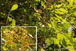 カナメモチの果実;クリックすると大きな写真になります。