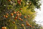 柿の実:松尾寺;クリックすると大きな写真になります。